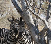 Shy Zebras Under A Tree