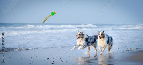 Fotomural Eine Gruppe von zwei Australian Shepherds springen voller Lebensfreude durch das blaue Wasser auf ein Spielzeug zu