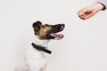 Clever Fox Terrier Puppy Taking A Treet From Human, Isolated Background. Cute Little Dog Looks At Human Hand Giving Him A Cookie.