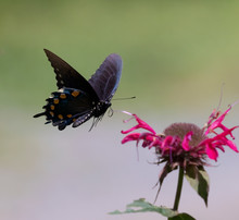 Pipevine Swallowtail Flight