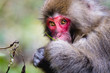 canvas print picture - red faced snow monkey in Kamikochi, Japanese Alps, Chubu Sangaku National Park