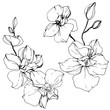 Vector Orchid. Floral botanical flower. Black and white engraved ink art. Isolated orchid illustration element.