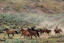 Wild Mustangs Gallop Through The Sagebrush In The Bible Springs Complex Near Cedar City, Utah During A BLM Gather Operation In August 2017.