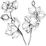 Wektor. Orchidea. Czarno-biała grawerowana grafika atramentowa. Element ilustracja na białym tle orchidea na białym tle.