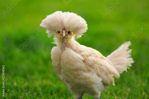 Poster de jardin Poules Young Polish Chicken with a green grass background