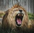 Löwe mit weit geöffnetem Maul