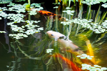 Fish Japanese Koi Or Carp  Mo...