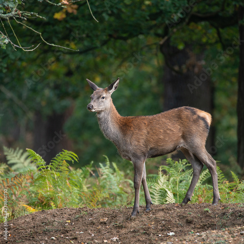 Fotografie, Obraz Stunning portrait of red deer hind in colorful Autumn forest landscape