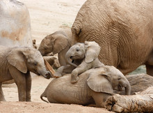 Baby Elephants Playing With Th...