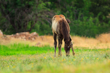 Grazing foal in a spring pasture