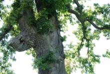 Cut Branch Of A White Oak (Que...