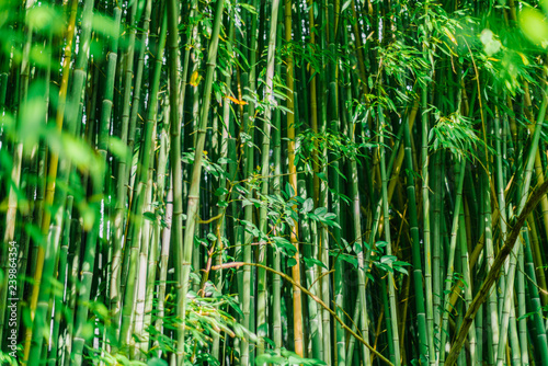 Green bamboo stems  Bamboo forest  Green wall of bamboo