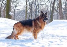 German Shepherd In The Winter Forest.