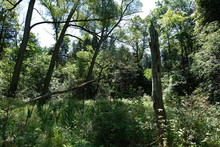 Three Similar Looking Trees Growing In A Wet Marshy Area With Green Plants And Cattails. Broken And Falling Trees Are Scattered.