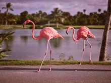 Beautiful Flamingos Walking Near Lake