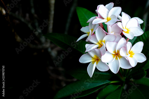Frangipani Tropical Spa Flower. Plumeria flower on plant