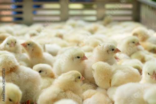 Foto Young yellow baby chicks on a poultry farm.