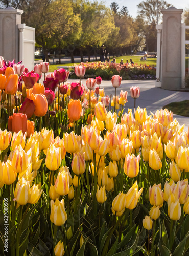 Photo  Flower gardens in spring with tulips, daffodils and pansies
