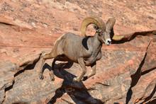 Big Horn Sheep In Zion National Park, Utah