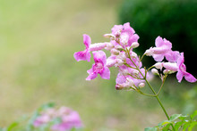 Pink Trumpet Vine Or Phodania....