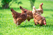 canvas print picture - Hens on traditional free range poultry organic farm grazing on the grass