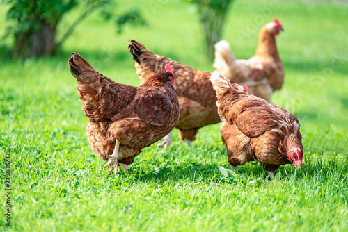 Poster de jardin Poules Hens on traditional free range poultry organic farm grazing on the grass