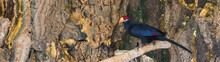 Lady Ross Turaco Standing On A...