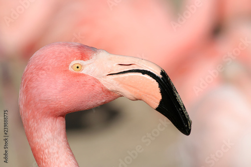 Head Shot of Pink Chilean Flamingo