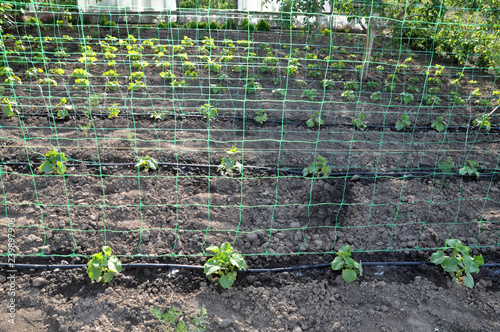 Fotografía  Using a wallpaper grid and drip irrigation for growing cucumbers