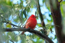 Summer Tanager In A Tree In No...