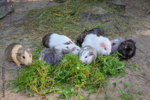 Fotografie, Obraz  Meerschweinchen fressen