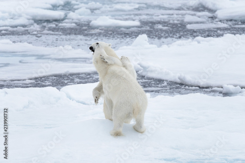 In de dag Ijsbeer Two young wild polar bears playing on pack ice in Arctic sea, north of Svalbard