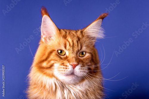 Fotografie, Obraz  A portrait of the red maine coon cat on the blue background, champion, isolated