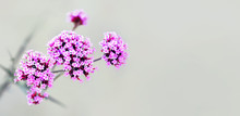 Verbena Bonariensis, Purpletop Or Clustertop Vervain, Argentinian Vervain, Tall Or Pretty Verbena. Flowering Plant With Small Pink Flowers. Garden Flowerbed, Floral Panoramic Background, Gardening