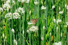 Butterfly On The Leek Flower