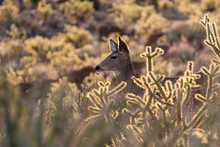 Close Up Of Mule Deer And Cholla Cactus.  Shot Taken At Red Rock Canyon National Conservation Area Near Las Vegas, Nevada.