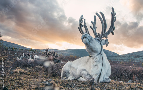magnificent white rein deer in northern Mongolia