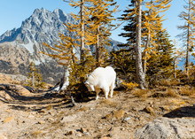 Mountain Goat In A Fall Forest