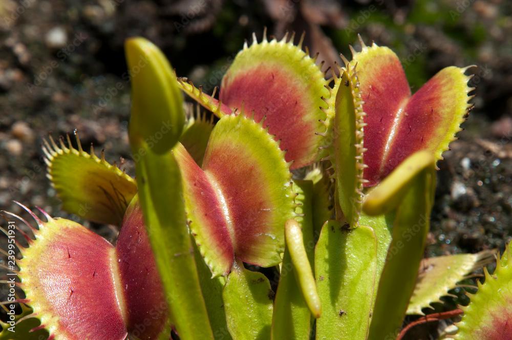 Fototapeta Sydney Australia, open leaves of Venus flytrap in garden bed
