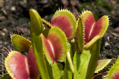 Fotografia Sydney Australia, open leaves of Venus flytrap in garden bed