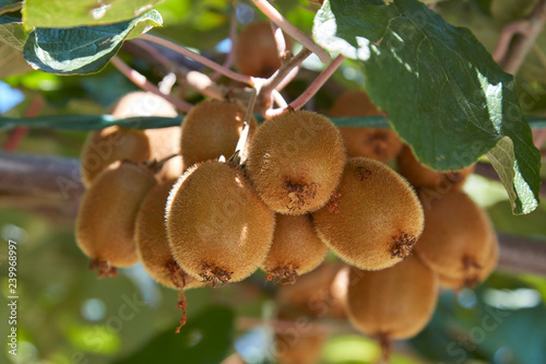 Kiwi fruits detail and plant in a sunny summer day Wallpaper Mural