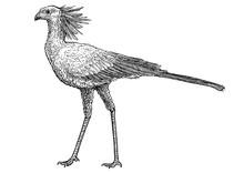 Secretary Bird Illustration, Drawing, Engraving, Ink, Line Art, Vector