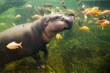 Dwarf Hippos Play With Fish.
