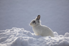 White Rabbits In The Snow,bunny In Winter,white Hare