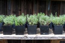 Small Lavender Seedlings