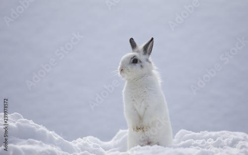 Fotografia white rabbits in the snow,bunny in winter,white hare