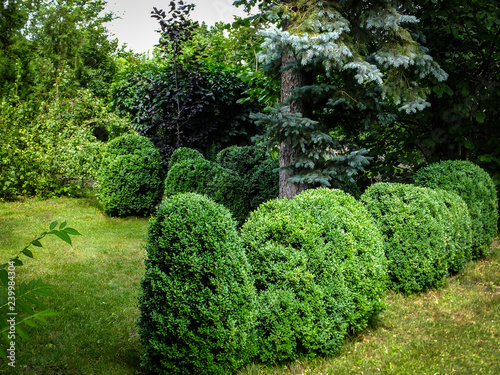 Cadres-photo bureau Jardin Beautiful landscaped garden with evergreens. Picea pungens above many boxwood Buxus sempervirens. Selective focus.