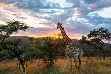 Panel Szklany Żyrafa A giraffe standing in beautiful african surroundings while sunrise.
