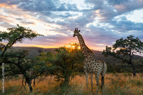 Garden Poster Giraffe A giraffe standing in beautiful african surroundings while sunrise.