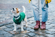 Close Up Of Unrecognizable Girl To Train A Small Dog. People With A Pet Together. Funny And Clever Jack Russell Terrier In Green Jacket Outdoor Walking In Winter City Street.